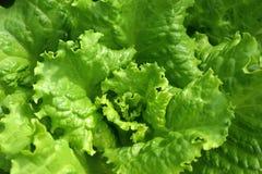 De groene sappige sla kweekt close-up Stock Fotografie