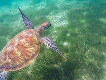 De groene schildpad zwemt boven overzees gras Zeeschildpad onderwaterfoto Stock Foto