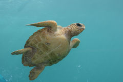 De groene Schildpad zwemt in Indische blauwe ocean1 Royalty-vrije Stock Afbeelding
