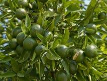 De groene sinaasappelen Stock Afbeeldingen