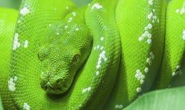 De groene slang krulde omhoog op een tak royalty-vrije stock afbeeldingen