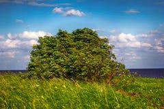 De groene slingering van wilgenbush in sterke wind stock afbeelding