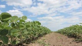 De groene sojaboon plant close-uprijen van sojainstallaties op een gecultiveerd landbouwersgebied stock video