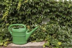 De groene spaarder van het tuinwater tussen de klimop stock fotografie