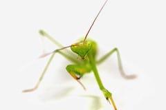 De groene sprinkhaan, gezicht zag uit op nadruk die, op witte achtergrond wordt geïsoleerd stock afbeeldingen