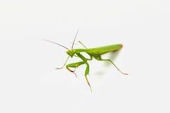De groene sprinkhaan, gezicht zag uit op nadruk die, op witte achtergrond wordt geïsoleerd stock afbeelding