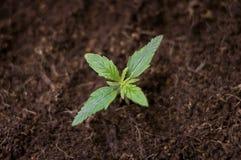 De groene spruiten van de cannabis Stock Fotografie