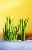 De groene spruiten van de lente maken hun manier aan heldere Zonnige gele achtergrond Royalty-vrije Stock Afbeeldingen
