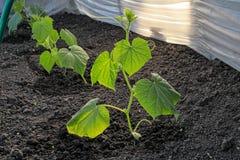 De groene spruiten van komkommers groeien op het bed in de serre royalty-vrije stock afbeeldingen