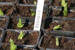 De groene spruiten van terugwinning Stock Fotografie