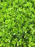 De groene struik verlaat muurachtergrond Royalty-vrije Stock Fotografie