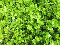 De groene struik verlaat muurachtergrond Stock Foto