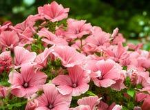 De groene struiken planten bloemenlavatera stock foto's