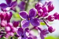 De groene tak met de lente nam lilac bloemen toe Royalty-vrije Stock Foto's