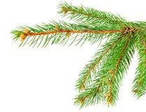 De groene tak van de pijnboomboom Stock Afbeelding