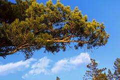 De groene tak van de pijnboomboom tegen een blauwe hemel Stock Fotografie