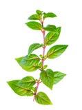 De groene tak van fuchsia met rode aders is geïsoleerd op witte rug Royalty-vrije Stock Afbeelding