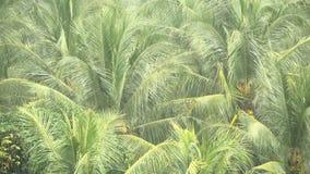 De groene takken van kokosnotenpalmen swaing in de wind in de tropische regen stock footage