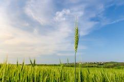 De Groene Tarwe van de zomer Stock Foto's