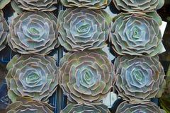 De groene textuur van de houseleekinstallatie als aardige natuurlijke achtergrond royalty-vrije stock foto