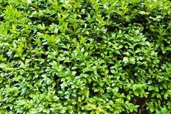 De groene Textuur van de Struik Stock Afbeelding