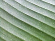 De groene textuur van het banaanblad Stock Foto