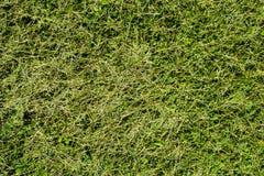De groene textuur van het besnoeiingsgras Royalty-vrije Stock Foto's