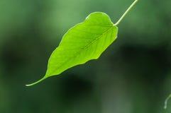 De groene textuur van het bodhiblad Stock Fotografie