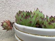 De groene textuur van de houseleekinstallatie als aardige natuurlijke achtergrond stock foto's