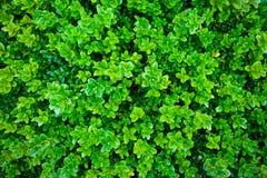 De groene trillende textuur van de bukshoutstruik in tuin stock fotografie