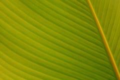 De groene tropische achtergrond van de bladaard Stock Fotografie