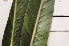 De groene tropische bladeren liggen op een witte achtergrond van plaqueraad Stock Fotografie