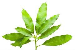 De groene tropische boom van de bladmango van geïsoleerde aard, mangobladeren Stock Foto