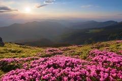 De groene vallei hoog op de bergen in de zomerdag is spangled met vele aardige roze rododendrons De zonsondergang met stralen stock foto