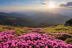 De groene vallei hoog op de bergen in de zomerdag is spangled met vele aardige roze rododendrons De zonsondergang met stralen royalty-vrije stock afbeelding