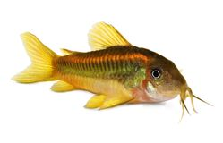 De groene vissen van Lasercory corydoras catfish aquarium stock foto's