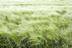 De groene weide van de zomer Stock Foto