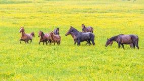 De groene weilanden van de boterbloemenbloem van paardlandbouwbedrijven Regenachtige dag Het landschap van de de lentezomer van h Royalty-vrije Stock Afbeeldingen
