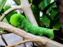 De Groene Worm op tak van boom royalty-vrije stock fotografie
