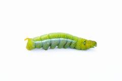 De groene worm op witte achtergrond, de groene rupsbanden, Cate Royalty-vrije Stock Foto's