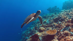 De groene Zeeschildpad zwemt op een Koraalrif Royalty-vrije Stock Afbeelding