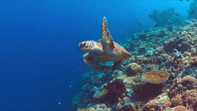 De groene Zeeschildpad zwemt op een Koraalrif Stock Afbeeldingen