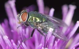 De groene zitting van de bromvliegvlieg op distel Stock Fotografie
