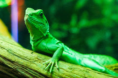 De groene zitting van hagedisbasiliscus op een tak royalty-vrije stock fotografie