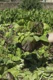 De groene zonnige dag van het saladegebied Stock Foto's