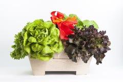 De groente van de hydrocultuur Stock Afbeeldingen