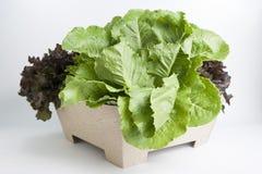 De groente van de hydrocultuur Royalty-vrije Stock Foto