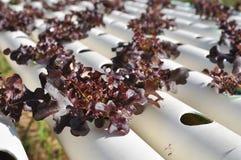 De groente van de hydrocultuur Royalty-vrije Stock Afbeeldingen