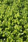 De groentengebied van de snijbiet, groen levendig platteland. Royalty-vrije Stock Foto's