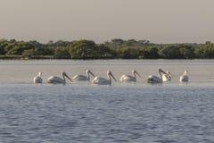 De groep Amerikaanse witte pelikaan zwemt uit royalty-vrije stock fotografie